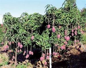 Planter Noyau Mangue : les arbres fruitiers ~ Melissatoandfro.com Idées de Décoration