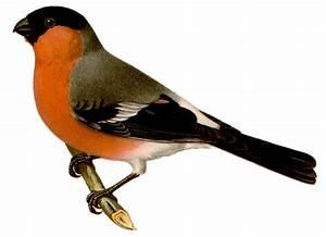Vogel Mit Roter Brust : dompfaff ~ Eleganceandgraceweddings.com Haus und Dekorationen