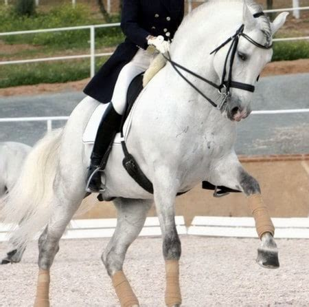 andalusian horse spanish horses grey dressage pure uses competition todaysequine
