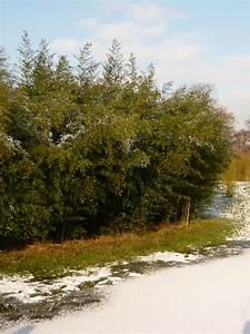 Bambus Braune Blätter : brauner flecken bambus 39 boryana 39 phyllostachys nigra 39 boryana 39 g nstig kaufen ~ Frokenaadalensverden.com Haus und Dekorationen
