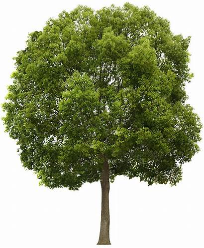 Tree Transparent Texture Photoshop Trees Cut Newdesignfile