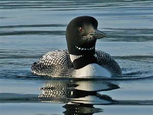 Birds of the World: LOONS