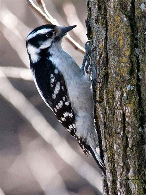 woodpecker hairy chicago botanic garden