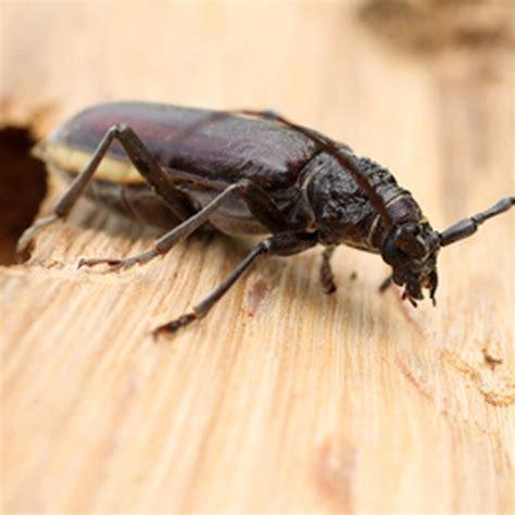 insecte de cuisine parasites du bois maison myqto com