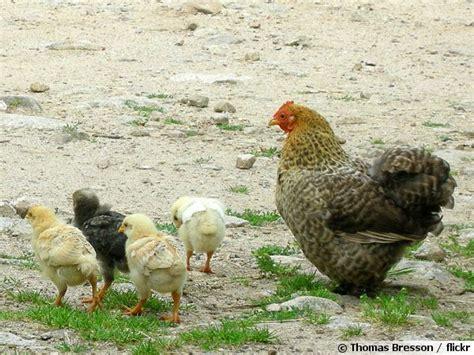 cuisiner une poule comment obtenir des poussins