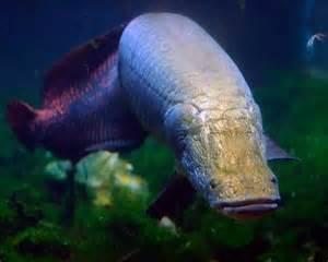 Largest Arapaima Fish