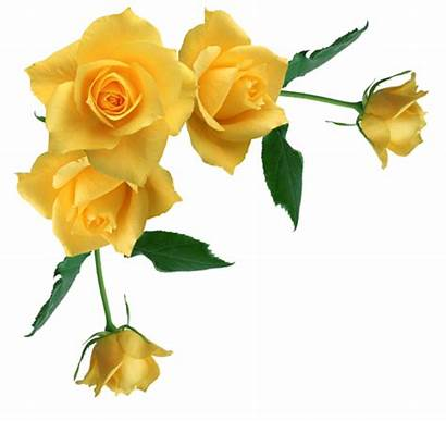 Yellow Rose Roses Clipart Border Transparent Flower