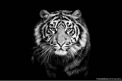 Tiger Background Close Predator Dog Wallpapers