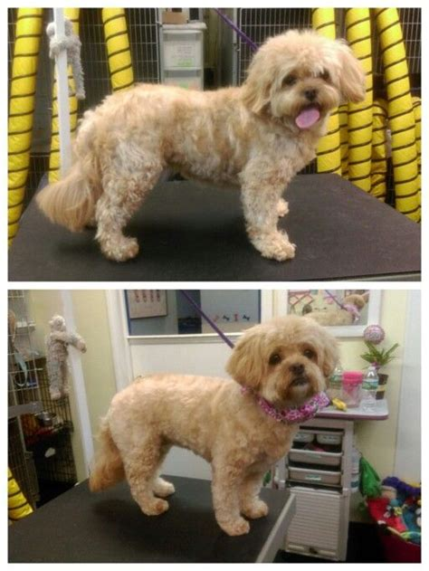 Lhasa Apso Poodle Shedding by 17 Best Images About Lhasa Poodle Mix On