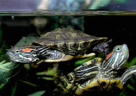 aquatic turtles baby water turtles