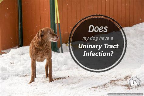 dog urethra infection goldenacresdogscom