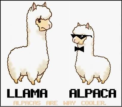 Alpaca Llama Clipart Cartoon Alpacas Funny Llamas