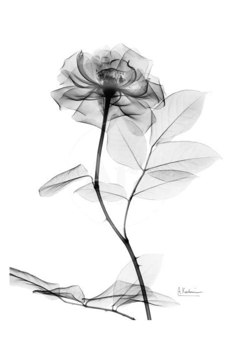 Rose in Full Bloom in Black and WhiteBy Albert Koetsier | imran | Rose tattoos, Watercolor rose