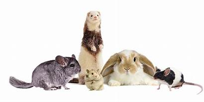 Pets Pet Mammals Sitting Guinea Underrated Exotic