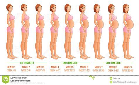 months  pregnancy progression stock vector