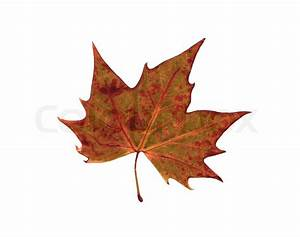 Autumn dry leaf of red oak tree isolated on stock photo