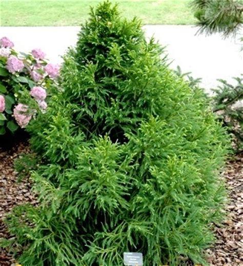 cryptomeria japonica gracilis gracilis cryptomeria japanese cedar