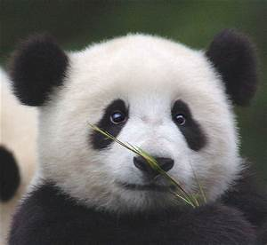 Funny Panda Pictures