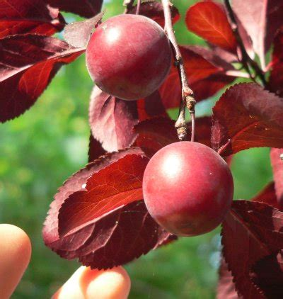 are ornamental plums edible are ornamental plums edible 100 images in praise of the cherry plum permaculture magazine