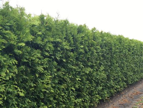 thuja occidentalis brabant white cedar thuja occidentalis instant hedge practicality brown