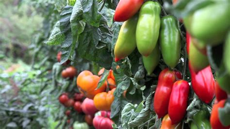 pictures of vegetable plants grafted vegetables at log house plants youtube