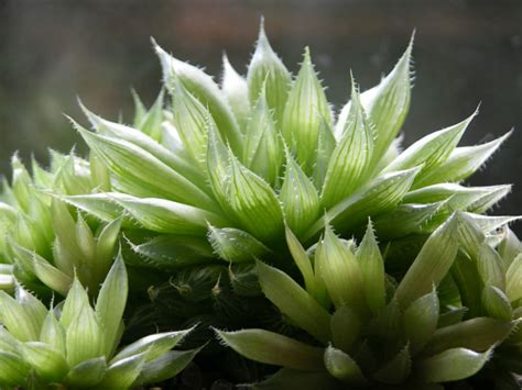 green shoes haworthia cooperi cooper 39 s haworthia of succulents