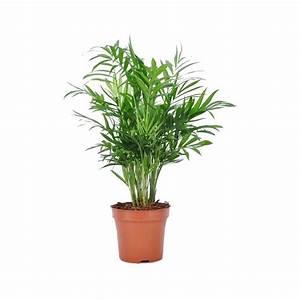 Entretien Plante Verte : palmier nain chamaedorea elegans en pot de 12cm hauteur 45cm gamm vert ~ Medecine-chirurgie-esthetiques.com Avis de Voitures