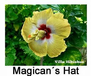 Hibiskus Hat Blattläuse Was Tun : hibiskus fotos rosa sinensis zimmerhibiskus auch eigene ~ Lizthompson.info Haus und Dekorationen
