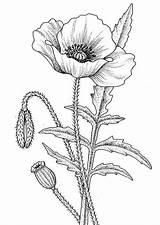Poppy Coloring California Drawing Awesome sketch template