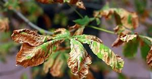 Blätter Werden Braun Und Trocken : miniermotte der rosskastanie bek mpfen mein sch ner garten ~ Orissabook.com Haus und Dekorationen
