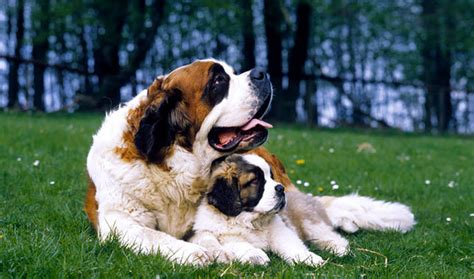 Do St Bernards Shed All Year cute dogs pets biggest saint bernard dogs