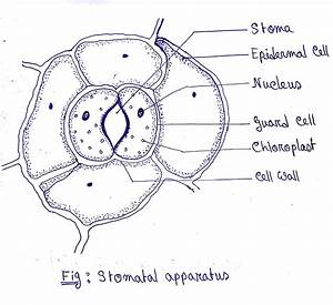 Draw A Neat And Labelled Diagram Of Leaf Epidermal Peel