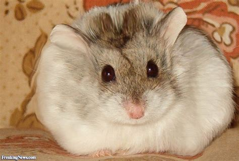 Fat Hamster Pictures Suck Dick Videos