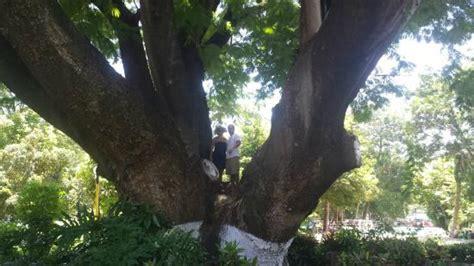 foto de issstehuixtla tehuixtla giant trees tripadvisor