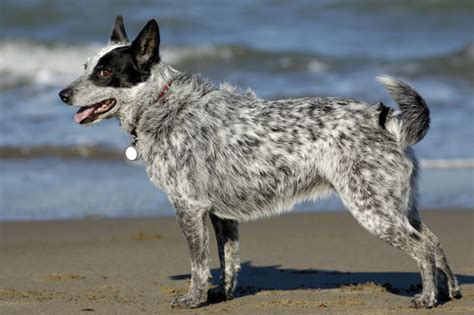 blue heeler shedding in winter australian cattle grooming bathing and care