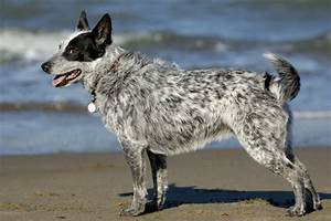 Australian Cattle Dog Grooming, Bathing, and Care