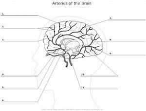 12 Best Images Of Brain Anatomy Worksheet