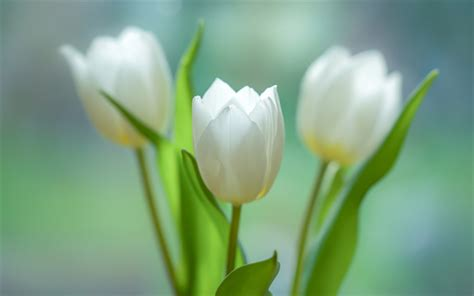 descargar fondos de pantalla tulipanes blancos primavera