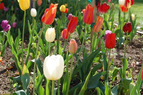 Garten Tulpen Pflanzen by Tulpen Pflanzen Tulpenzwiebeln Im Eigenen Garten Anbauen