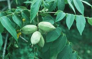 Juglans cinerea (butternut, white walnut): Go Botany