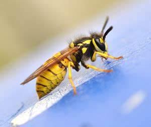 Was Hilft Gegen Wespen : mittel gegen wespen was hilft wirklich ~ Whattoseeinmadrid.com Haus und Dekorationen