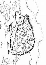 Hedgehog Coloring Animal Animals Sheets sketch template