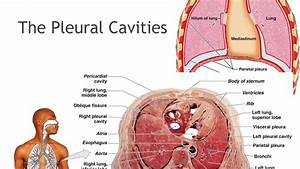 13 The Lungs  Pleural Cavities And  Respiratory Muscles