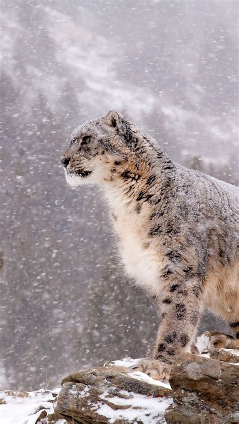 Snow Animal Wallpaper - snow leopard wallpaper 72 images