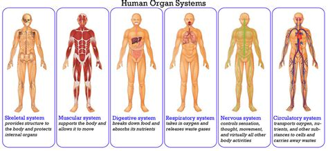 respiratory system   systems   work