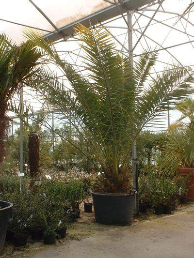 canariensis en pot les palmiers