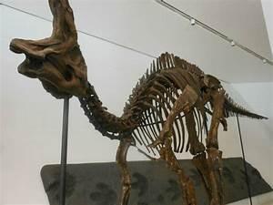 Corythosaurus - the ROM - Kendra Spence | dino skellies ...