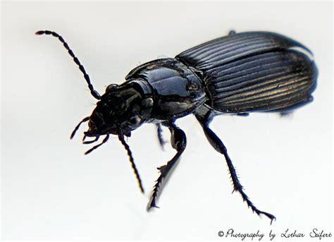 Schwarzer Käfer Im Haus, Hier Ein Ungefährlicher Grabkäfer