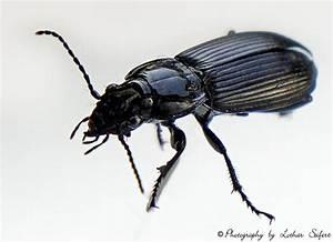 Kleine Schwarze Käfer Im Haus : schwarzer k fer im haus hier ein ungef hrlicher grabk fer ~ Lizthompson.info Haus und Dekorationen
