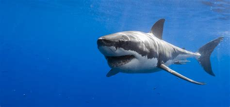 great white shark dive 50 facts about great white sharks scuba dive